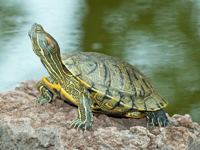 Korytnačka písmenková - ozdobná, lat. Trachemys scripta elegans