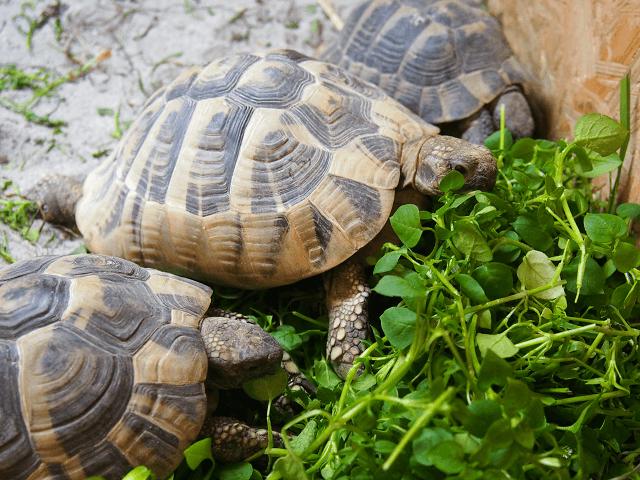 Korytnačky jedia ďatelinu