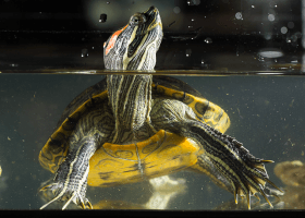 Mladá korytnačka sedí v teráriu