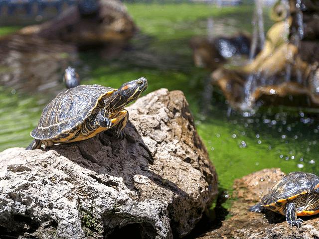 Dve vodné korytnačky v jazierku