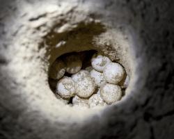 Znáška korytnačích vajec v piesku