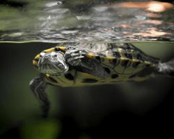 Korytnačka vo vode, v teráriu