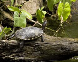 Vodná korytnačka na drevenom ostrovčeku v jazierku