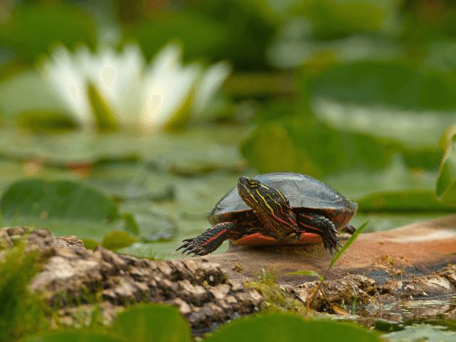 Vodná korytnačka pri jazierku