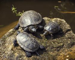 Vodné korytnačky sa vyhrievajú na ostrovčeku