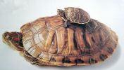 Dve korytnačky