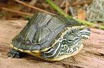 Mláďa korytnačky