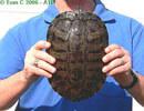Veľká korytnačka