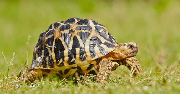 Korytnačka lúčová, lat. Astrochelys radiata