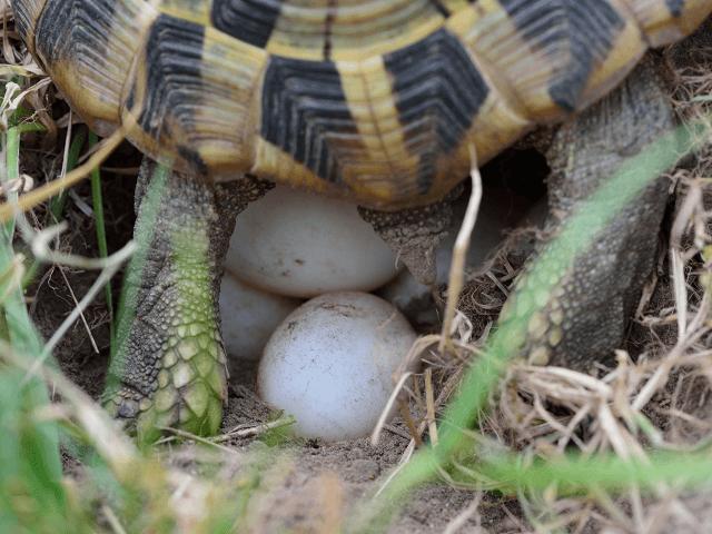 Kladenie vajec suchozemskou korytnačkou