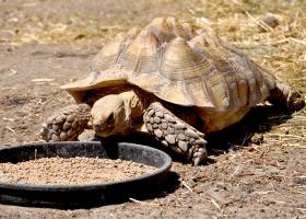 Korytnačka vo výbehu sa kŕmi