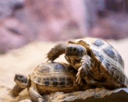 Párenie korytnačiek
